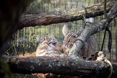 Amurin leopardi Korkeasaari